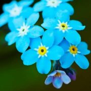 Cute forget-me-nots
