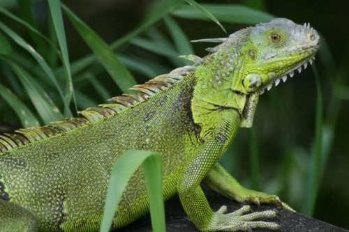 Cute iguana