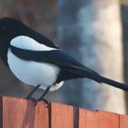 Cute magpie