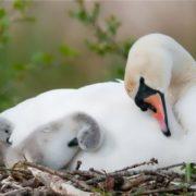 Cute swans