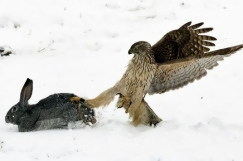 Falcon is hunting
