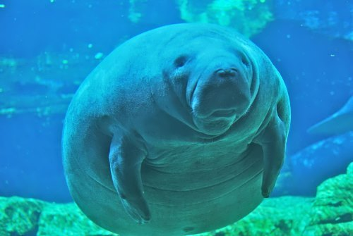 Fat manatee