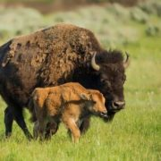 Female bison and its calf