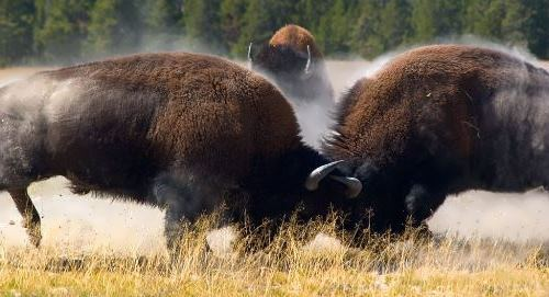Fighting bison