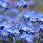 Forget-me-not – unforgettable flower
