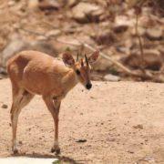 Four-horned antelope, Tetracerus quadricornis