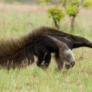 Gorgeous anteater