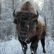 Gorgeous bison
