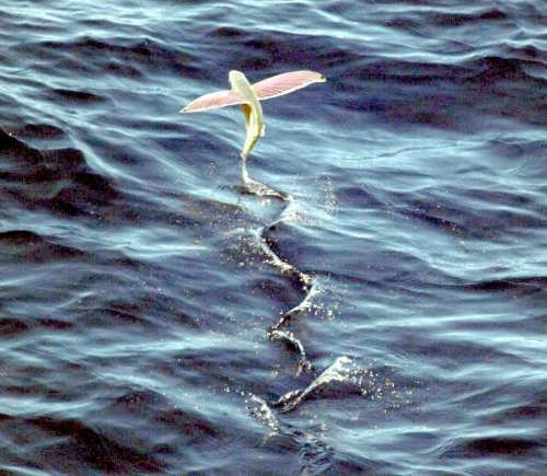 Gorgeous flying fish