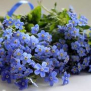 Gorgeous forget-me-nots