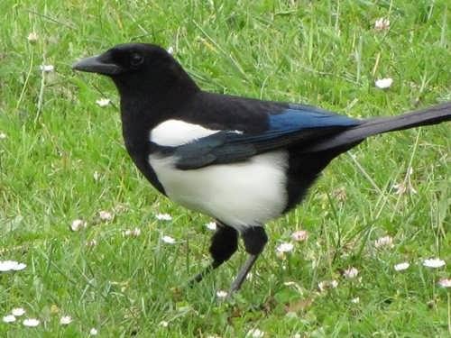 Gorgeous magpie