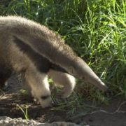Graceful anteater