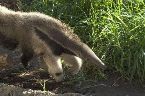 Graceful anteater