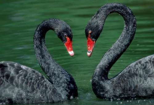 Graceful black swans