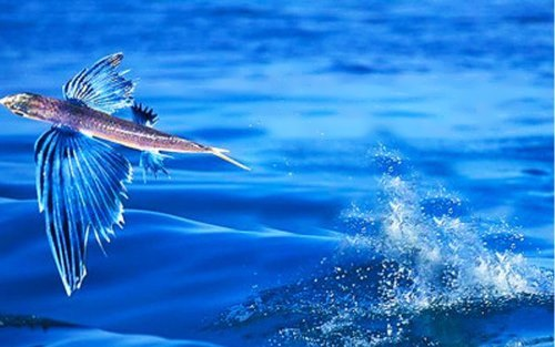 Graceful flying fish