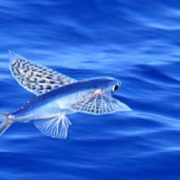 Great flying fish
