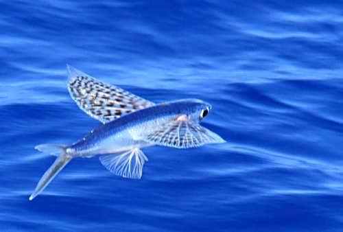 Great flying fish