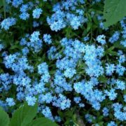 Great forget-me-nots