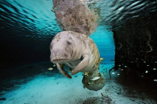 Great manatee