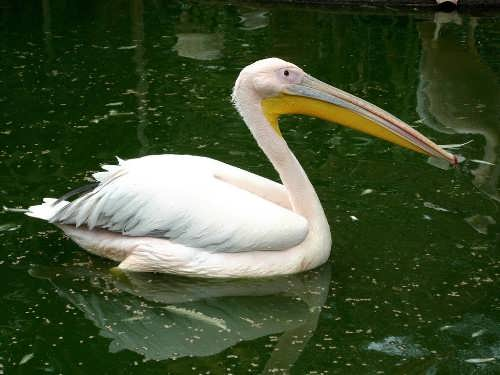 Great pelican