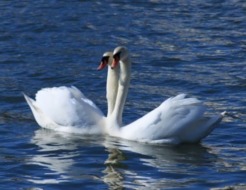 Great swans