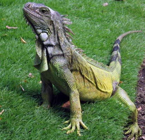 Iguana – interesting reptile
