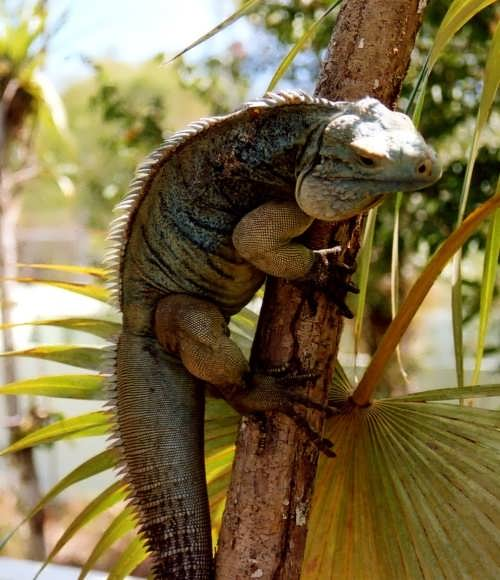 Iguana on the branch