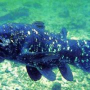 Interesting coelacanth