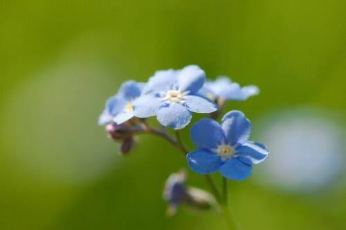 Interesting forget-me-nots