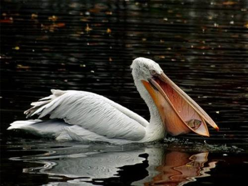 Interesting pelican
