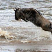 Jumping Wildebeest