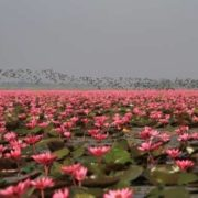 Lake of lotuses