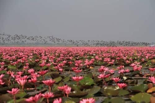 Lake of lotuses