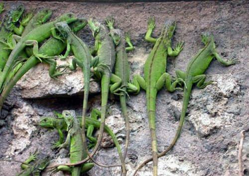 Little iguanas