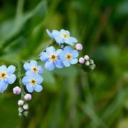 Lovely forget-me-nots