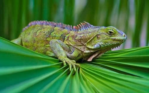 Lovely iguana