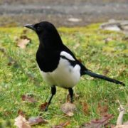 Lovely magpie