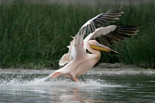Lovely pelican