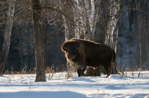 Magnificent bison