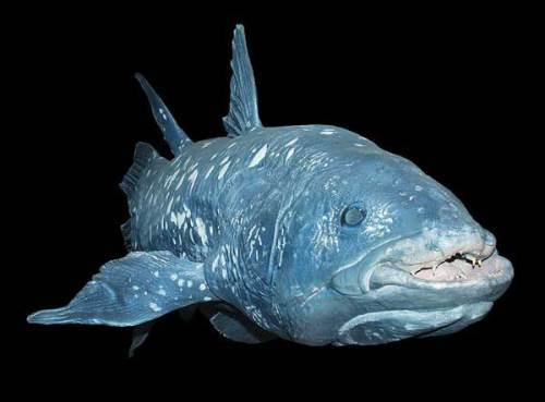 Magnificent coelacanth