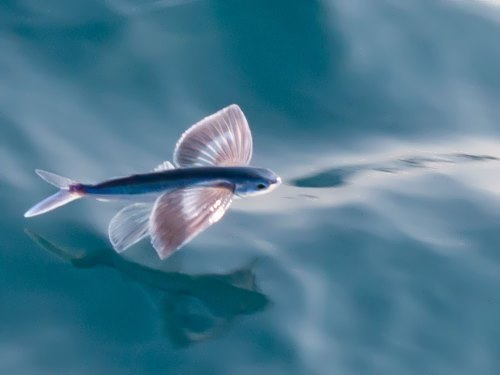 Magnificent flying fish