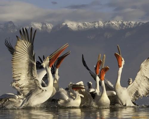 Magnificent pelican
