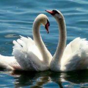 Magnificent swans