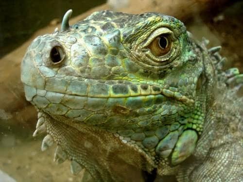 Majestic iguana
