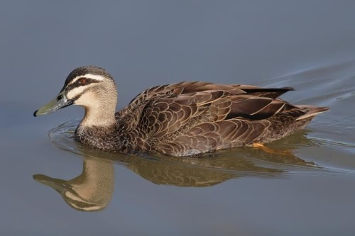 Mariana Mallard officially recognized extinct in 2004
