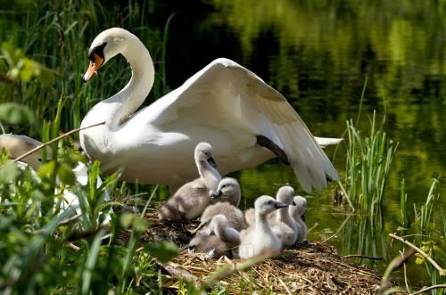 Mother swan and cygnets