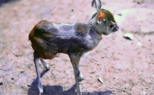 Neotragus pygmaeus