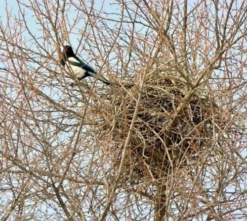 Nest of the magpie