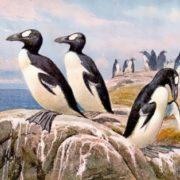 Pinguinus Impennis