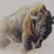 Powerful bison